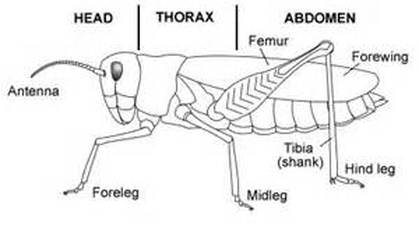 What is the function of a grasshopper's tympanum?